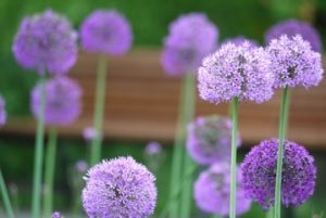 Purple flowers choosing the right flowers for your garden allium mightylinksfo