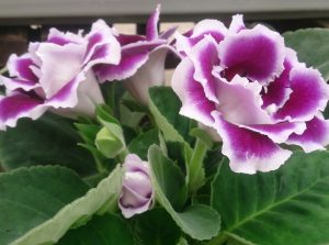 Purple flowers choosing the right flowers for your garden gloxinia mightylinksfo